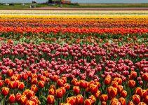Landskapet bjuder på väderkvarnar och tulpaner